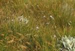 Buchnera wildii