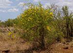 Rhigozum zambesiacum