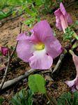 Harpagophytum zeyheri subsp. sublobatum