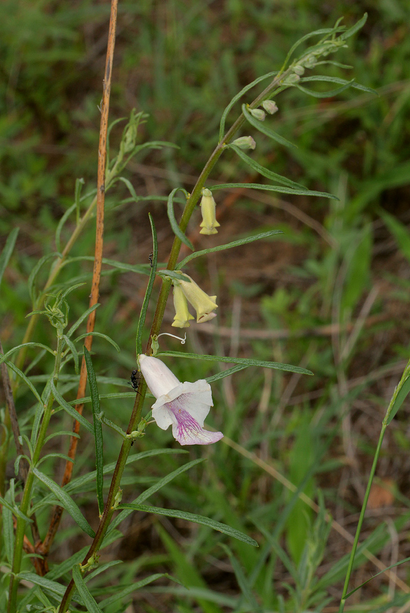 Sesamum calycinum subsp. baumii