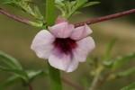 Sesamum triphyllum