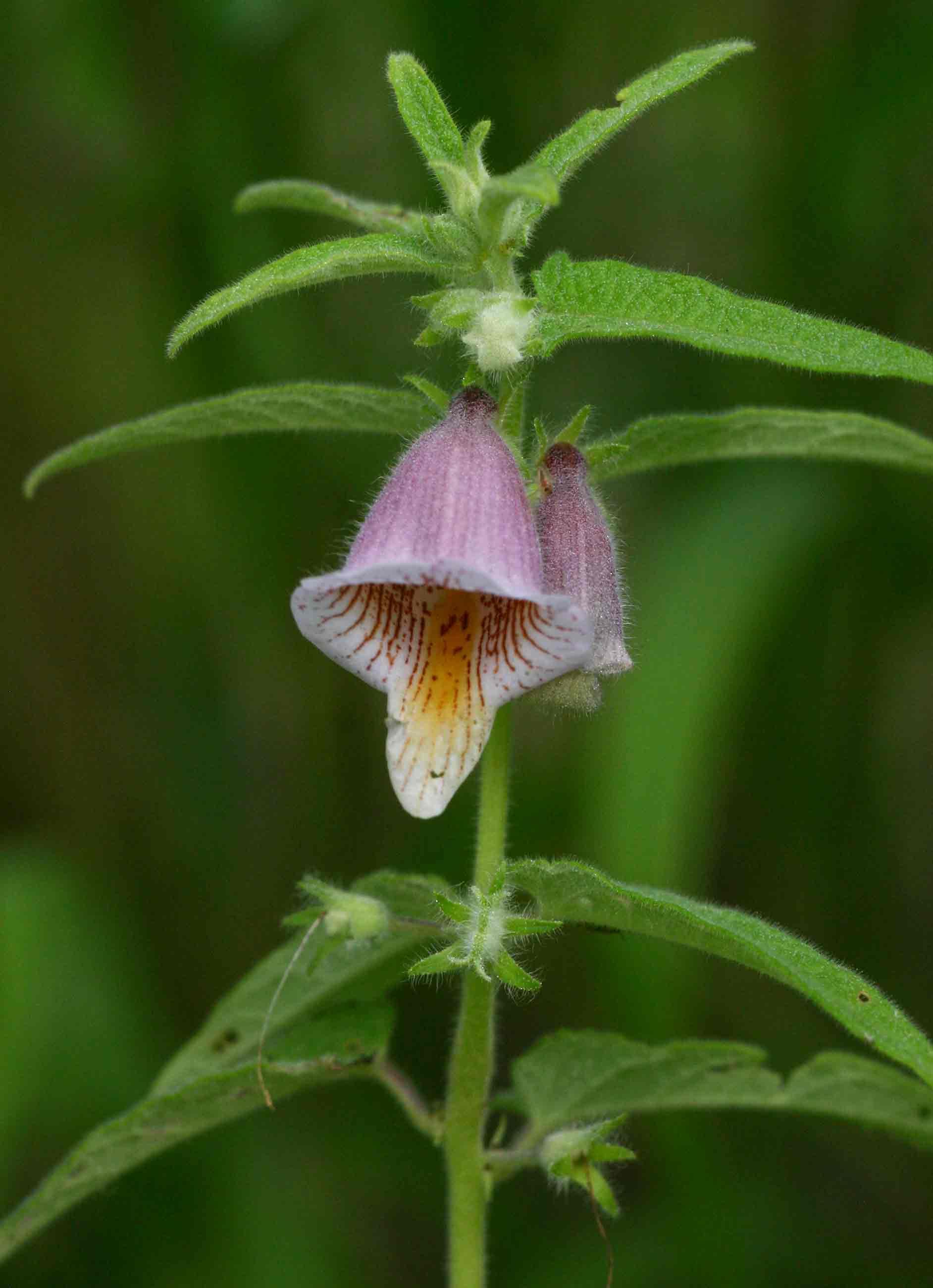 Ceratotheca sesamoides