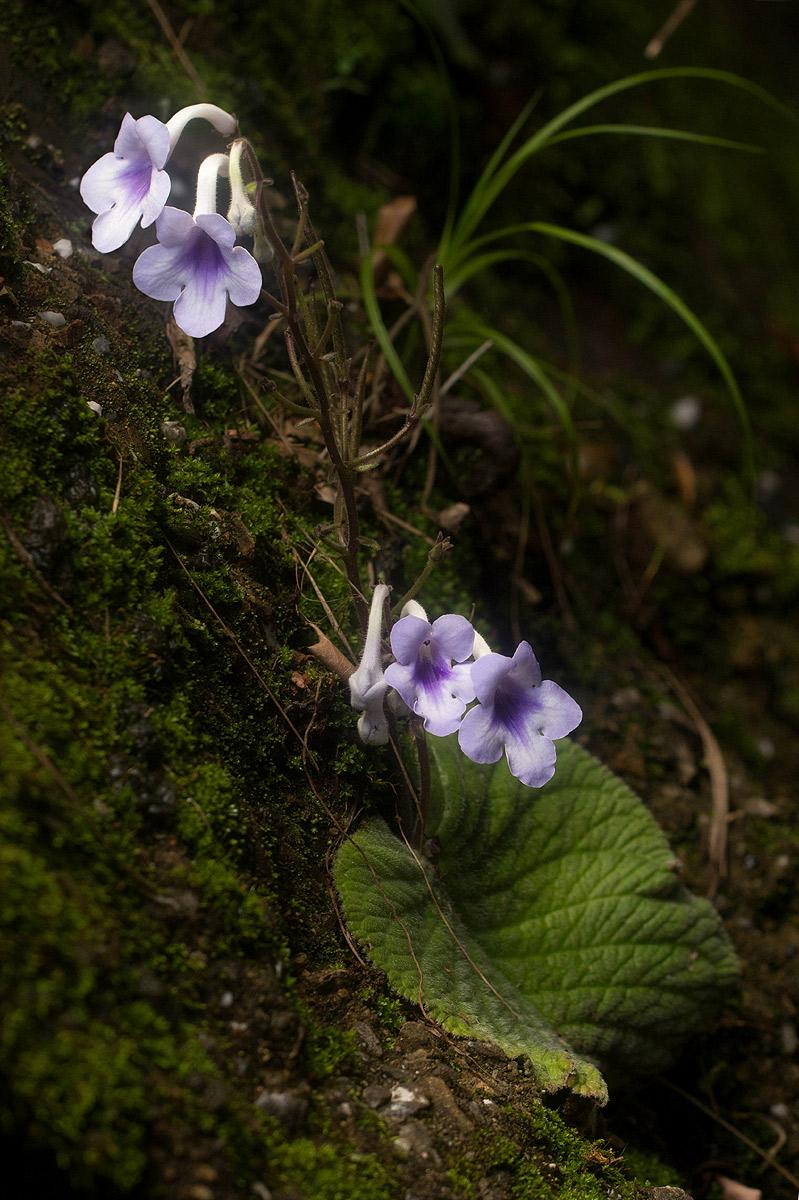 Streptocarpus eylesii subsp. eylesii