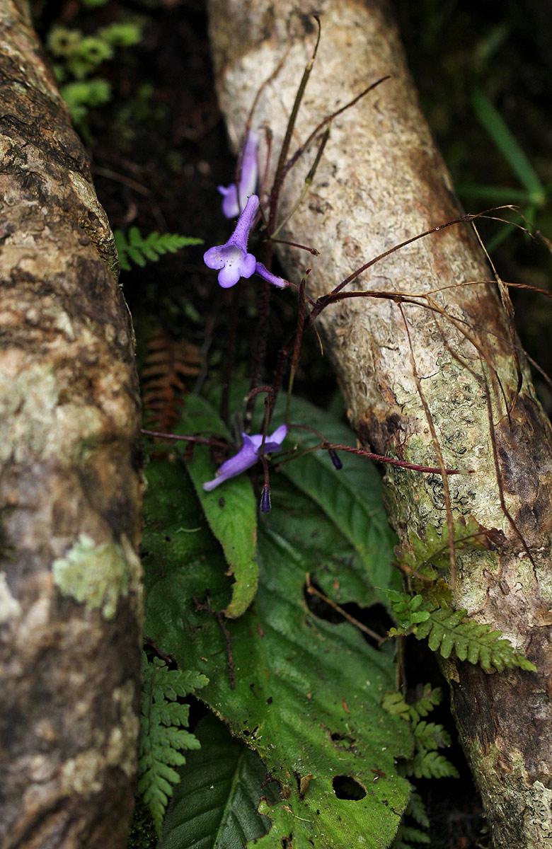 Streptocarpus grandis subsp. septentrionalis
