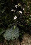 Streptocarpus hirticapsa
