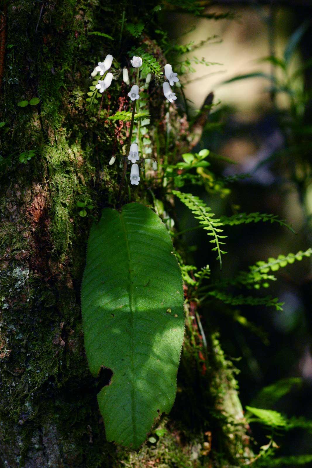 Streptocarpus umtaliensis image