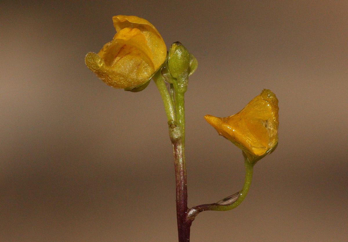 Utricularia stellaris