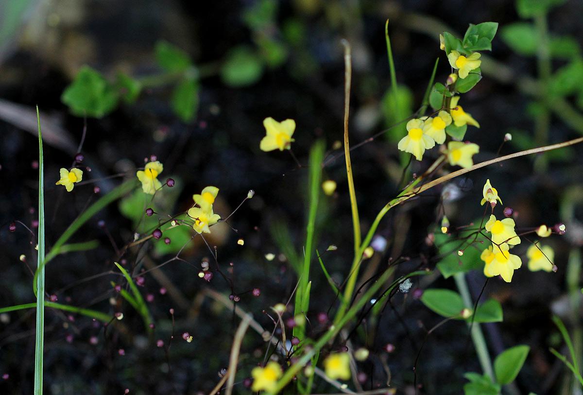 Utricularia subulata