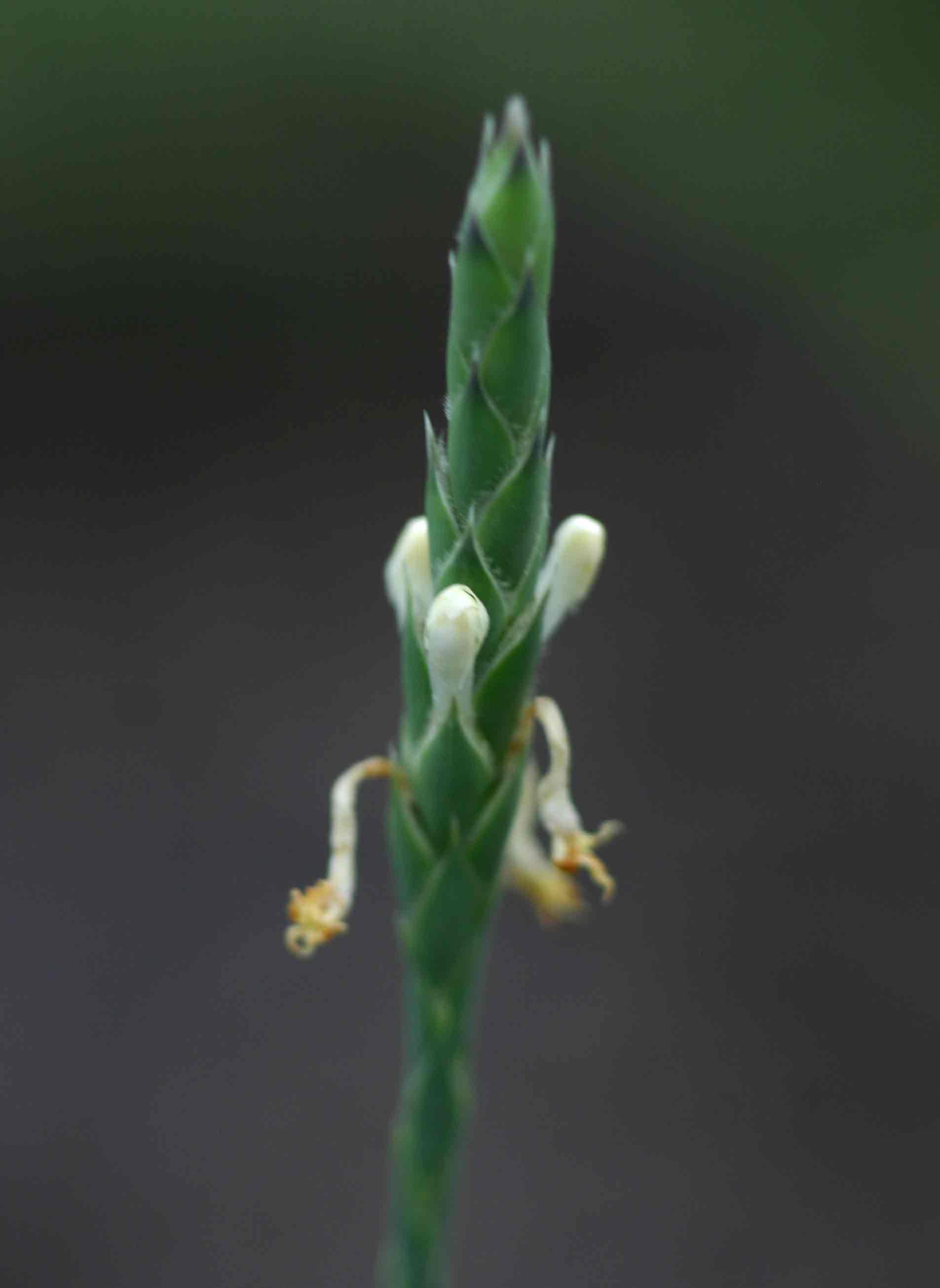Elytraria acaulis
