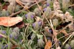 Nelsonia canescens