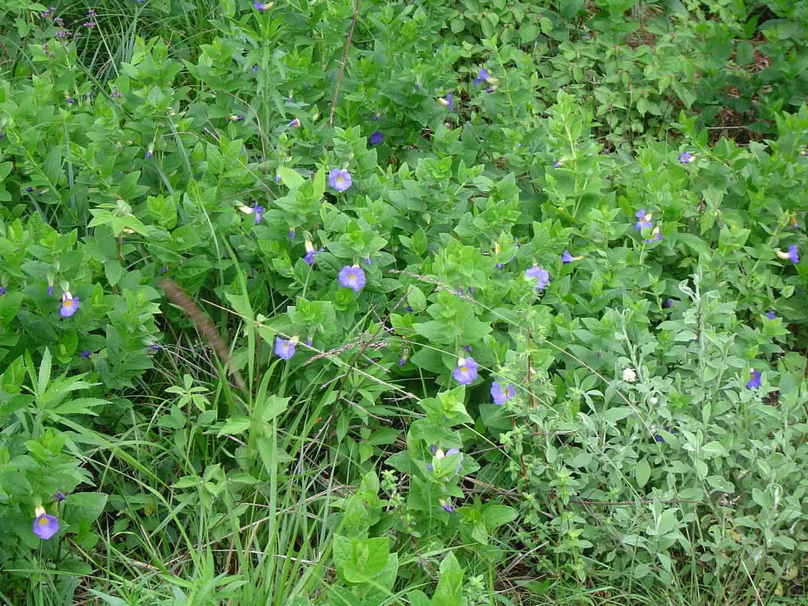 Thunbergia natalensis