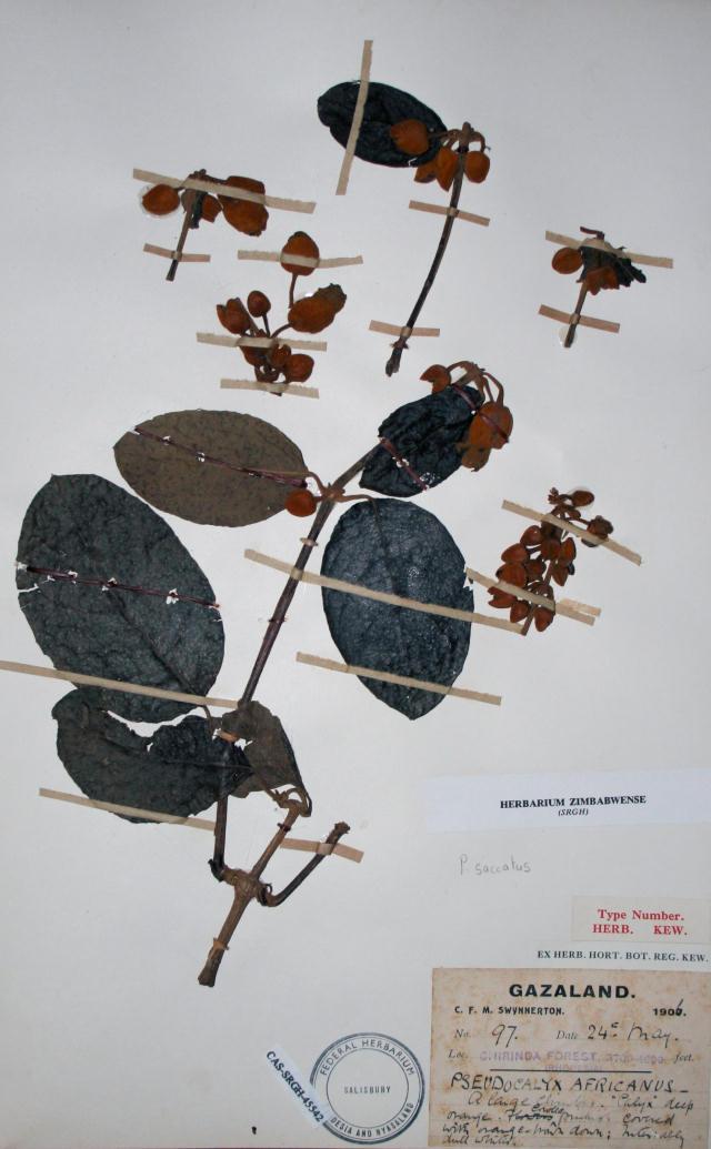 Pseudocalyx saccatus