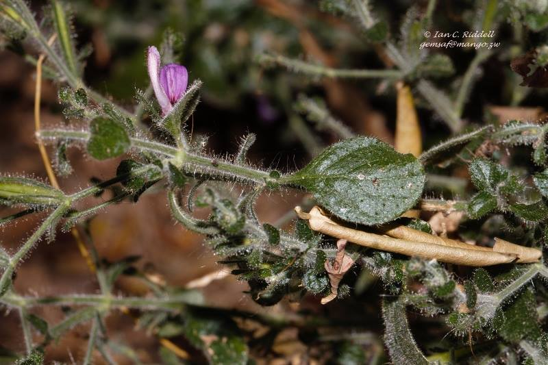 Brillantaisia pubescens