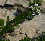 Hygrophila abyssinica