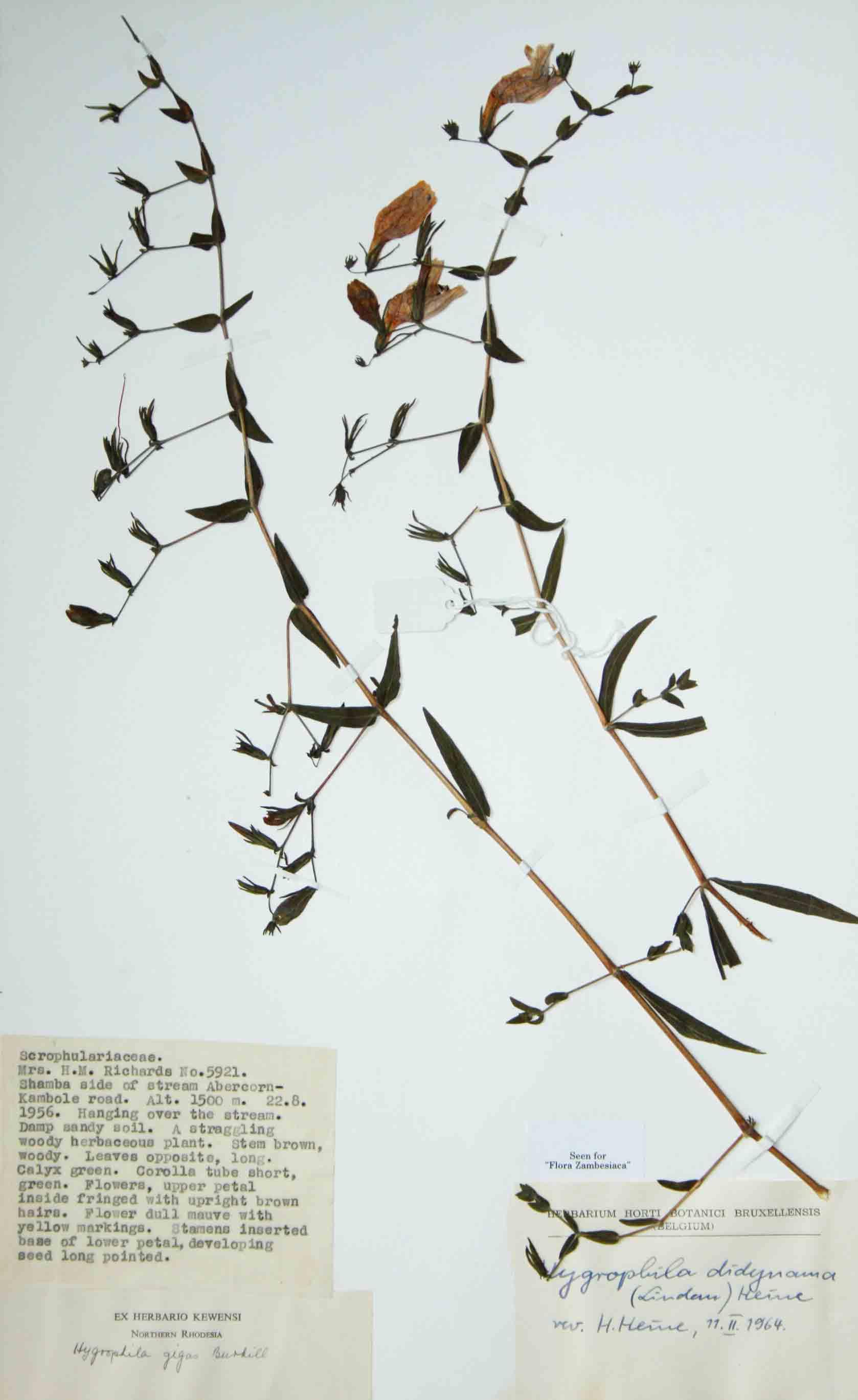 Hygrophila didynama