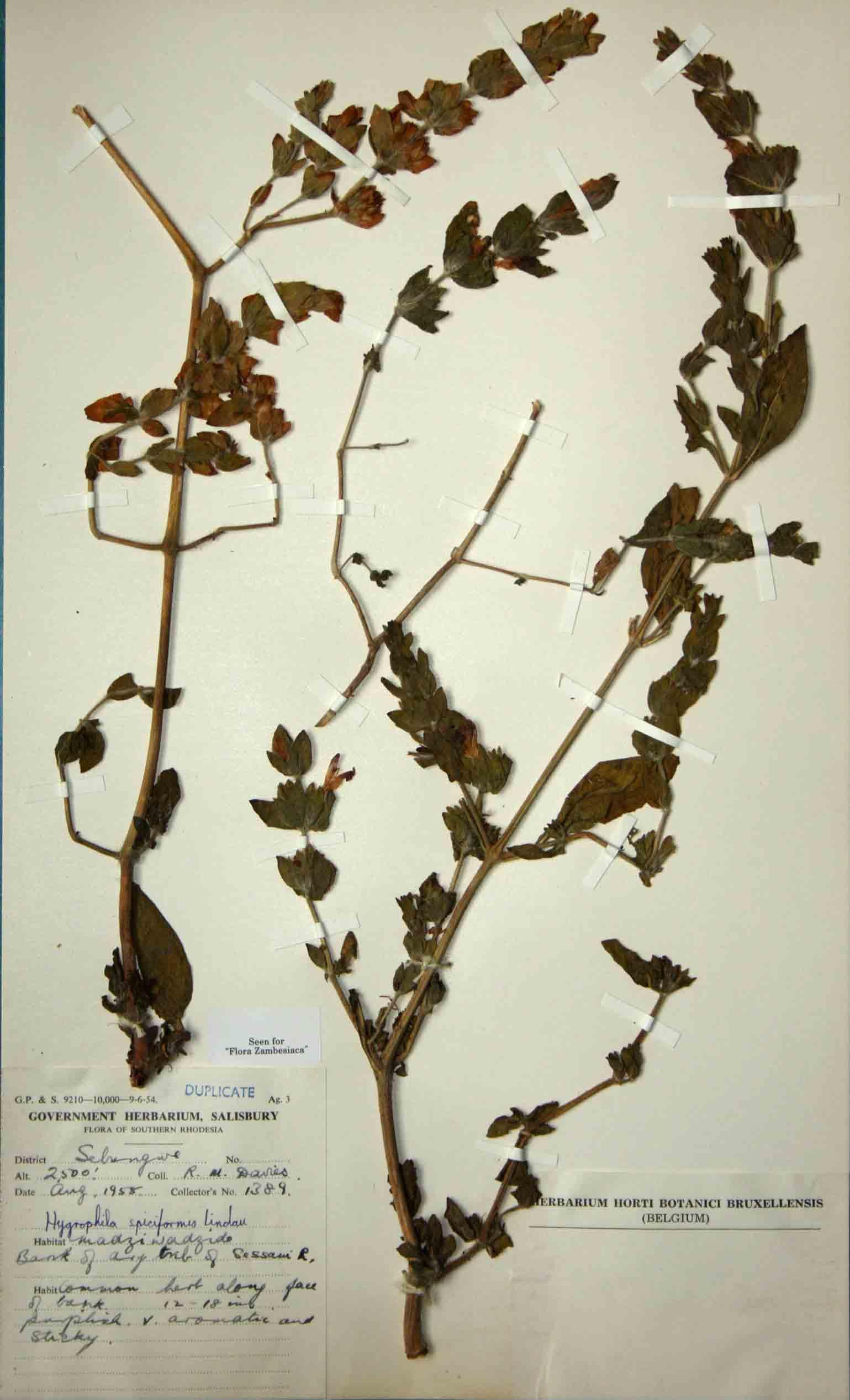 Hygrophila spiciformis