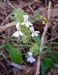Phaulopsis imbricata subsp. imbricata