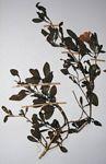 Petalidium aromaticum var. aromaticum