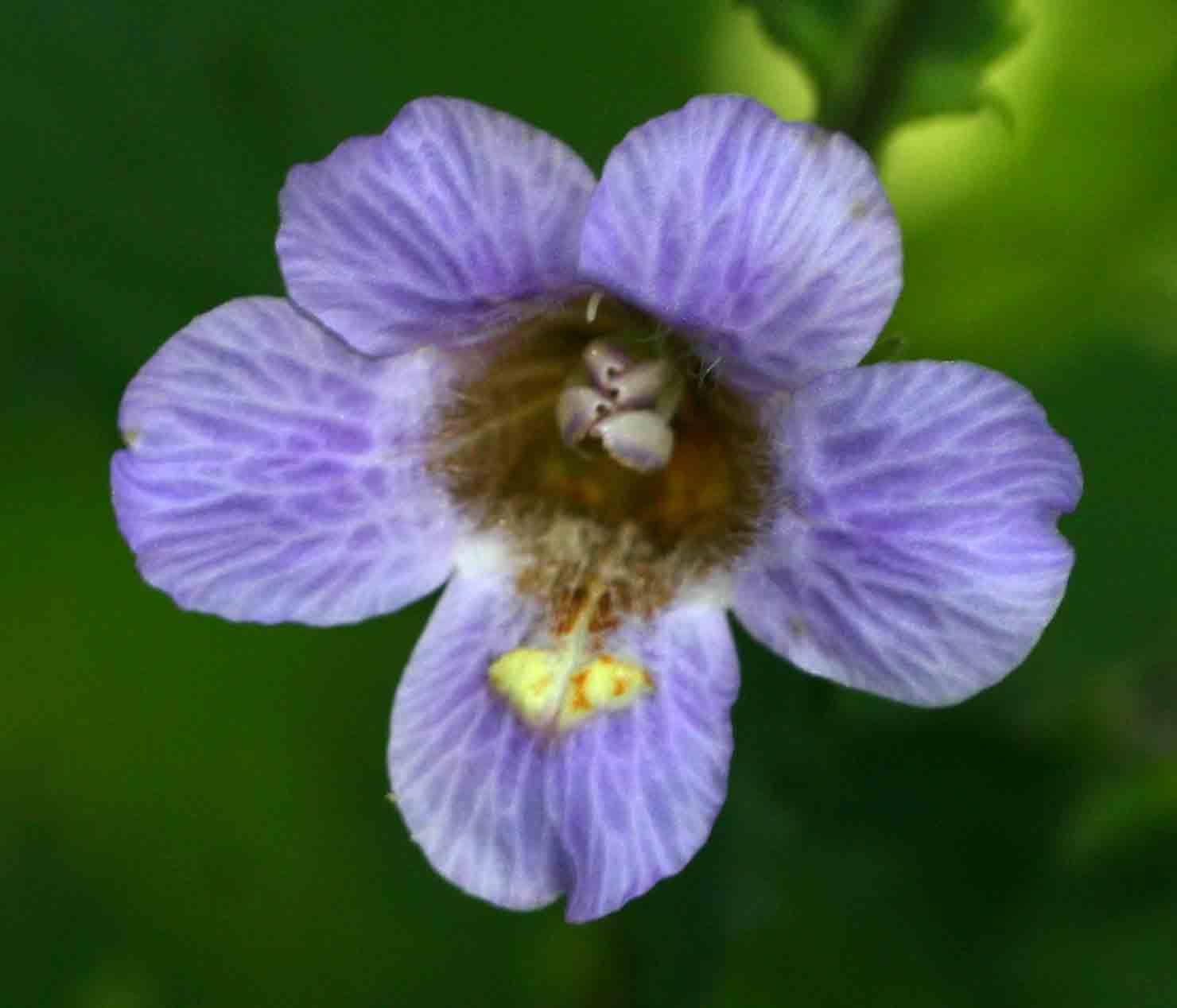 Mimulopsis solmsii