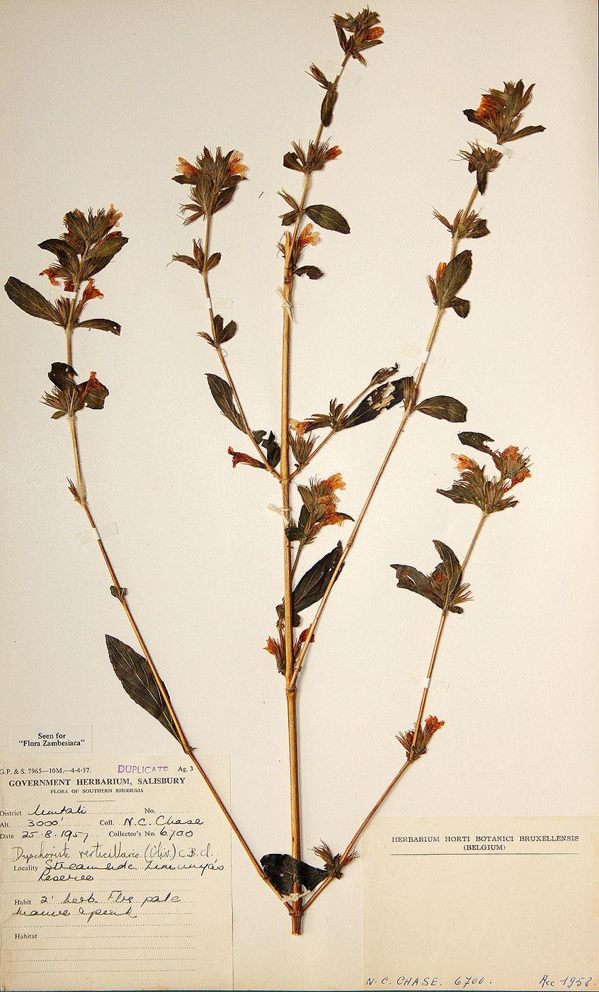 Dyschoriste trichocalyx subsp. verticillaris