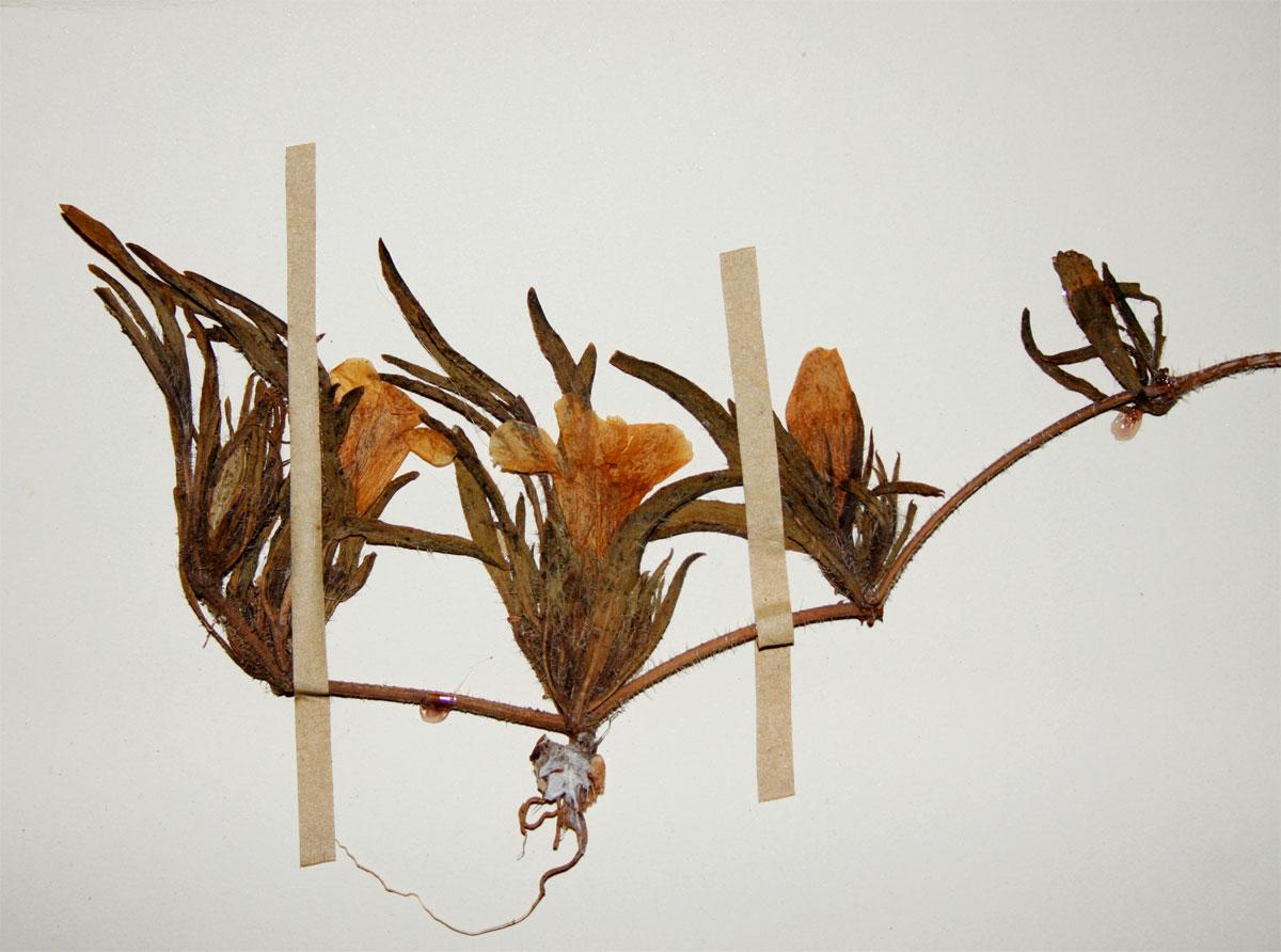 Ruelliopsis setosa