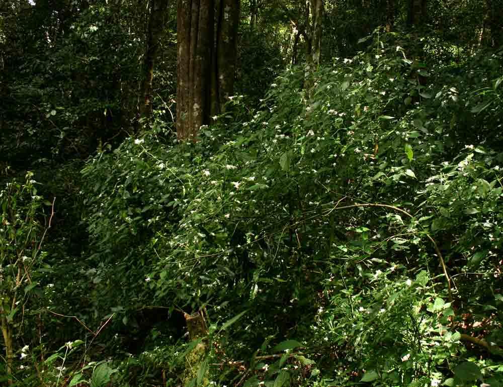 Acanthopale pubescens