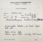 Strobilanthopsis linifolia