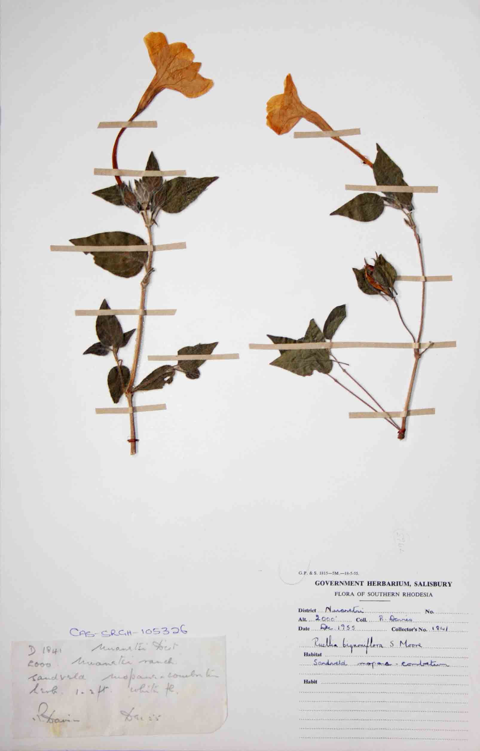 Ruellia bignoniiflora