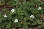 Ruellia patula