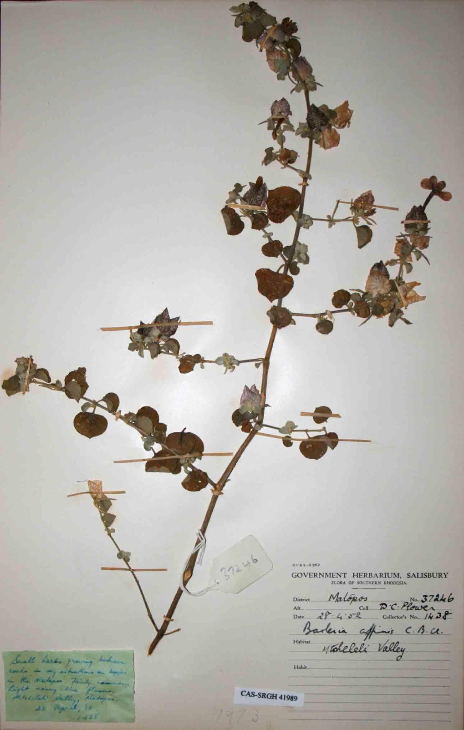 Barleria affinis subsp. affinis