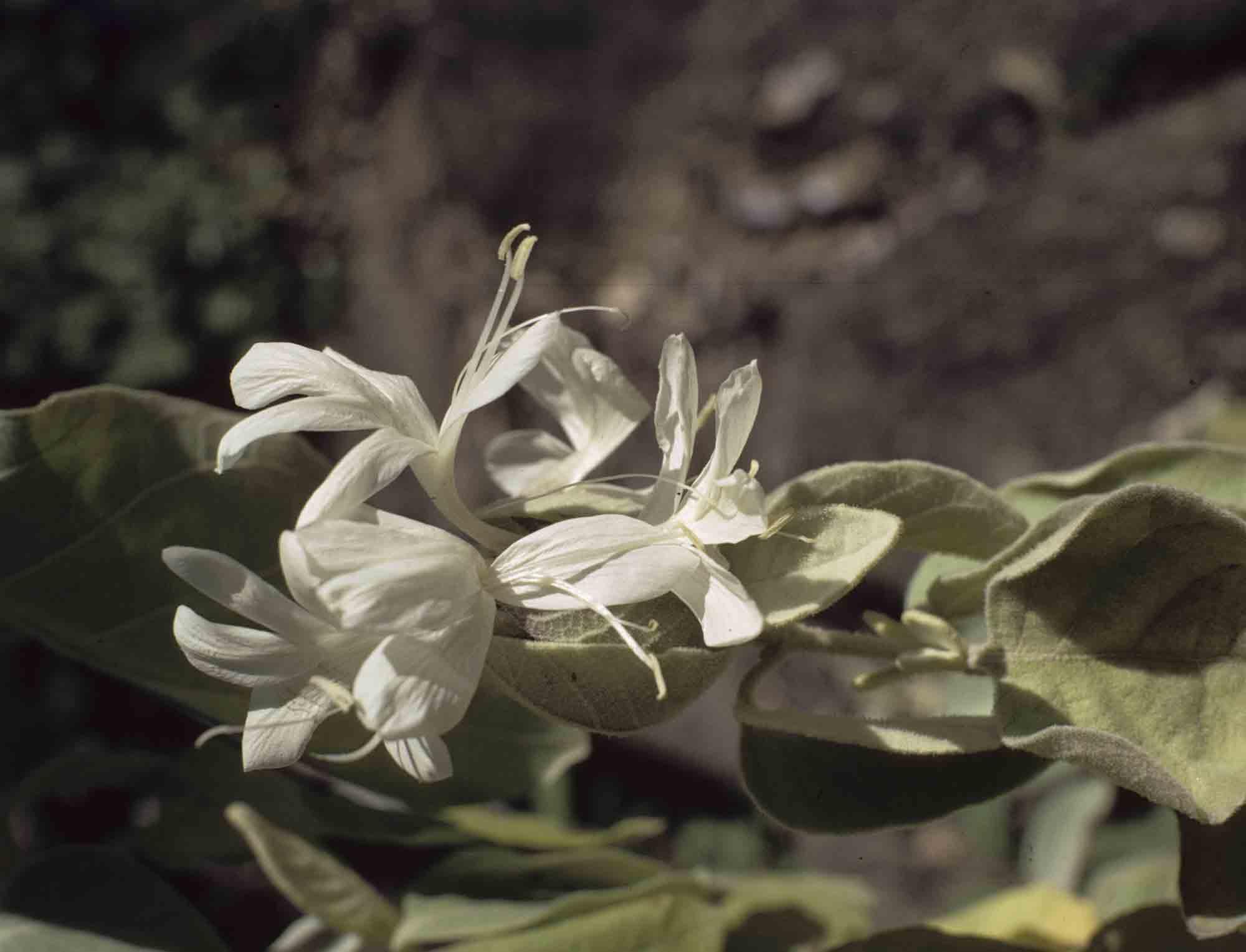 Barleria albostellata