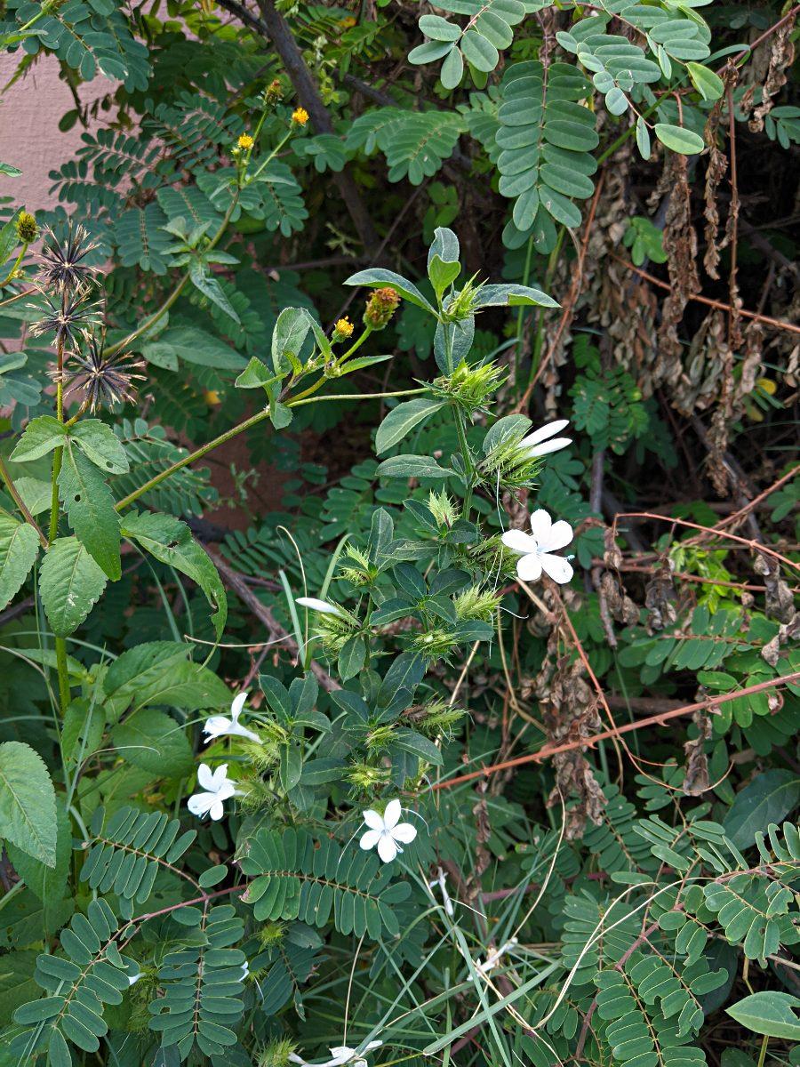 Barleria elegans subsp. orientalis