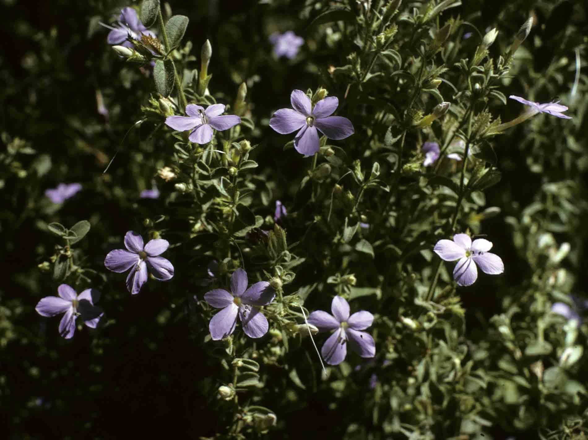 Barleria spinulosa subsp. kirkii