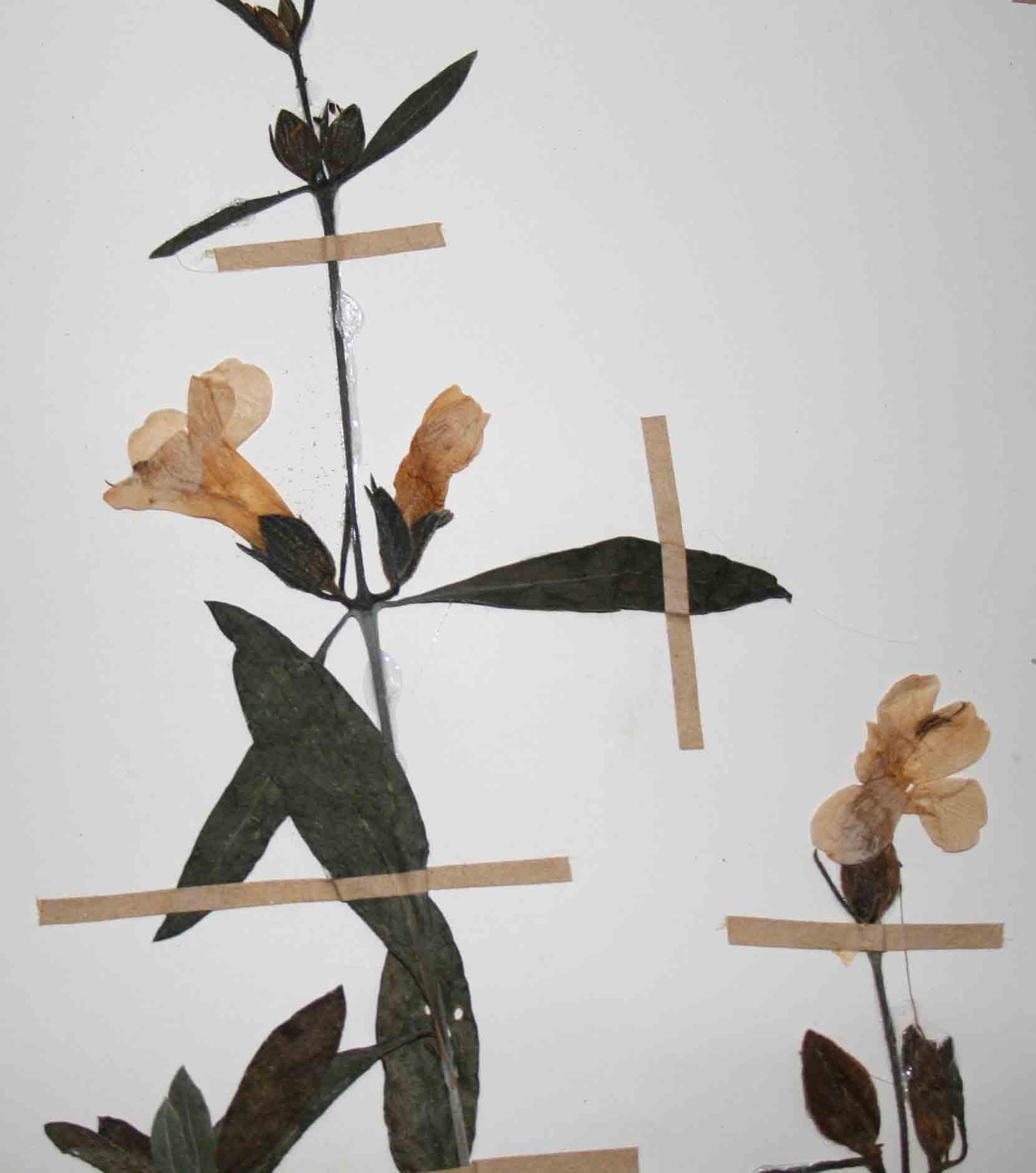 Barleria lancifolia