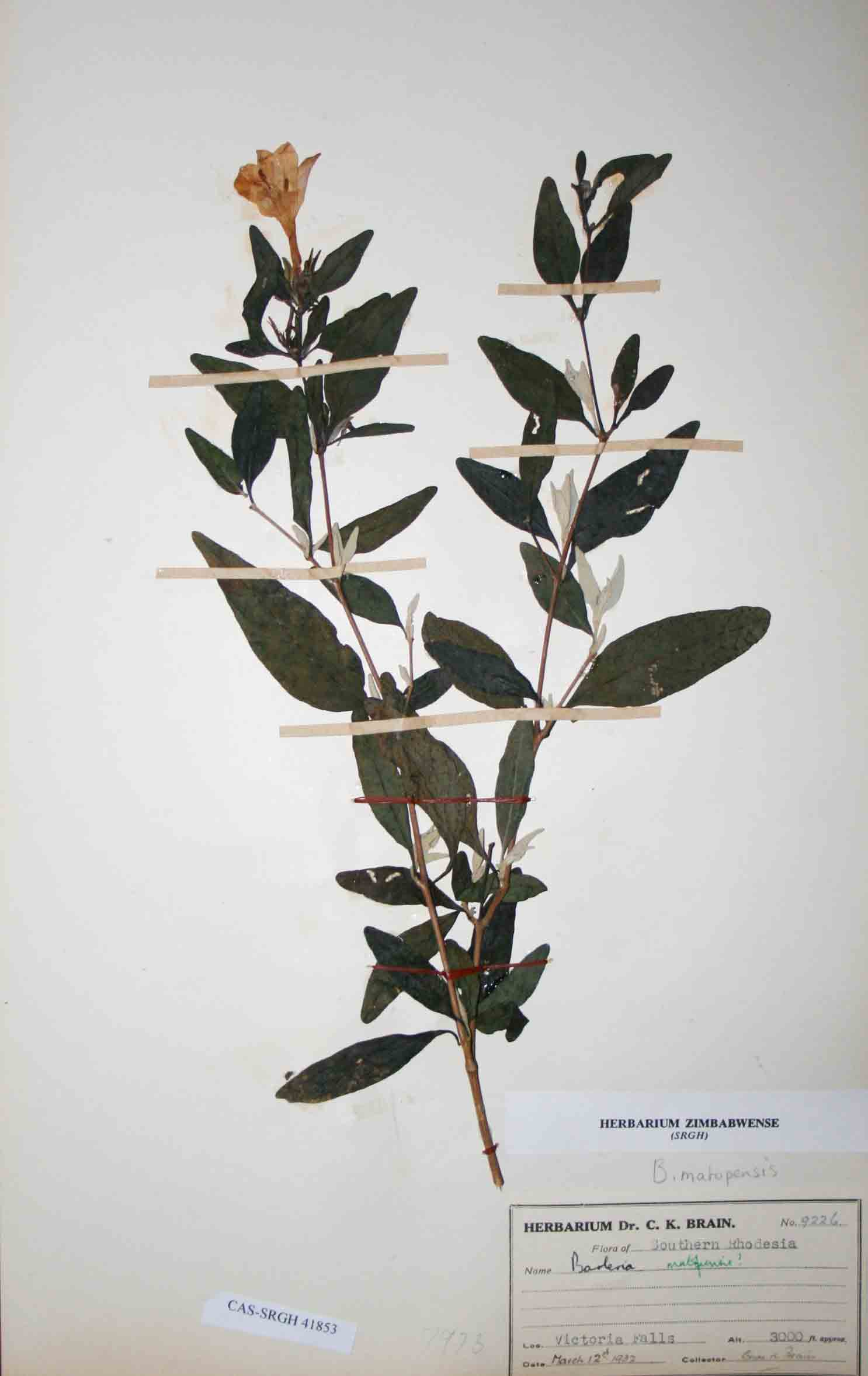 Barleria matopensis