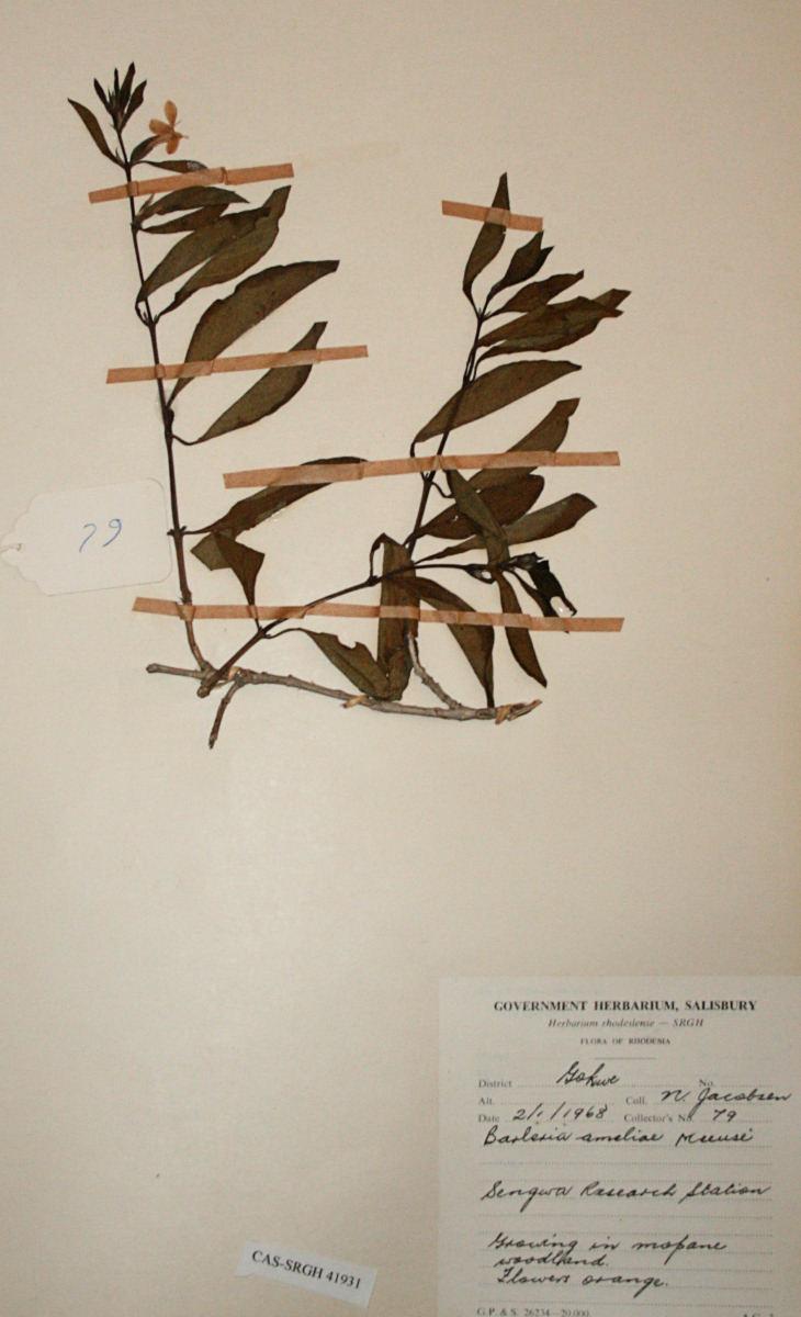 Barleria ameliae