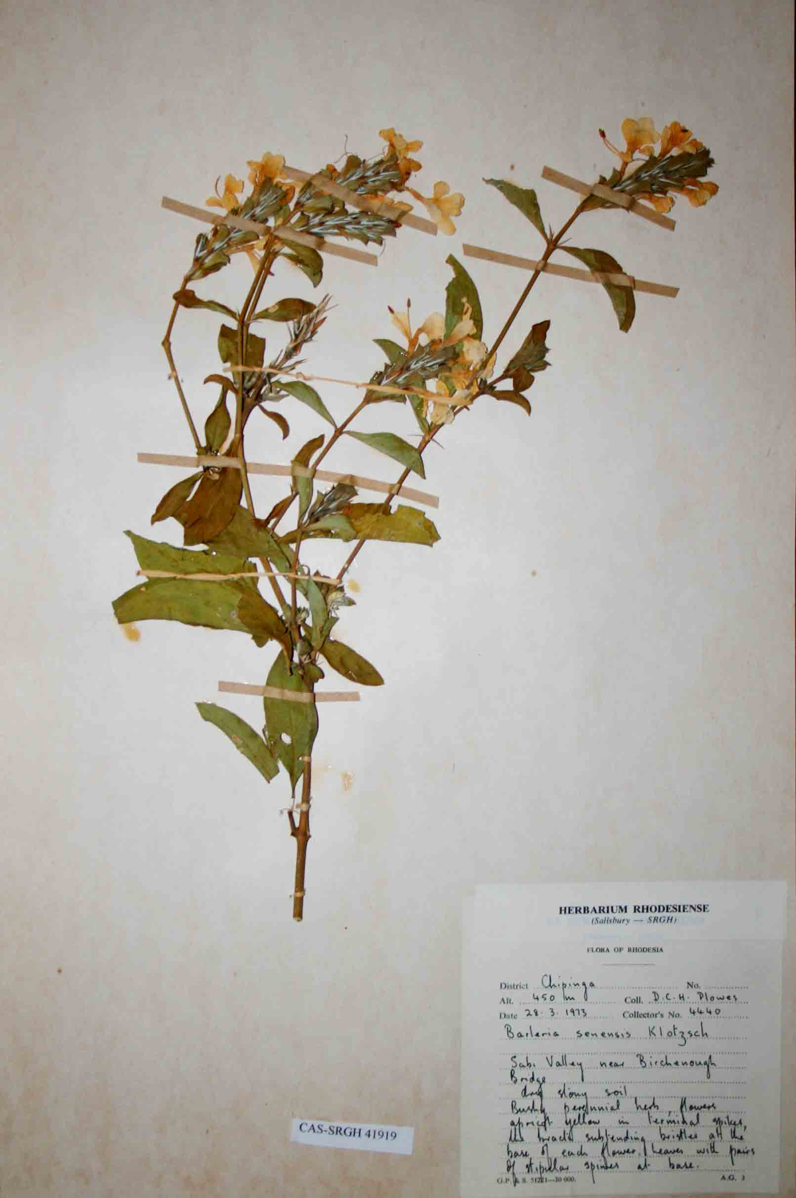Barleria senensis