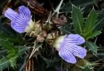 Blepharis aspera