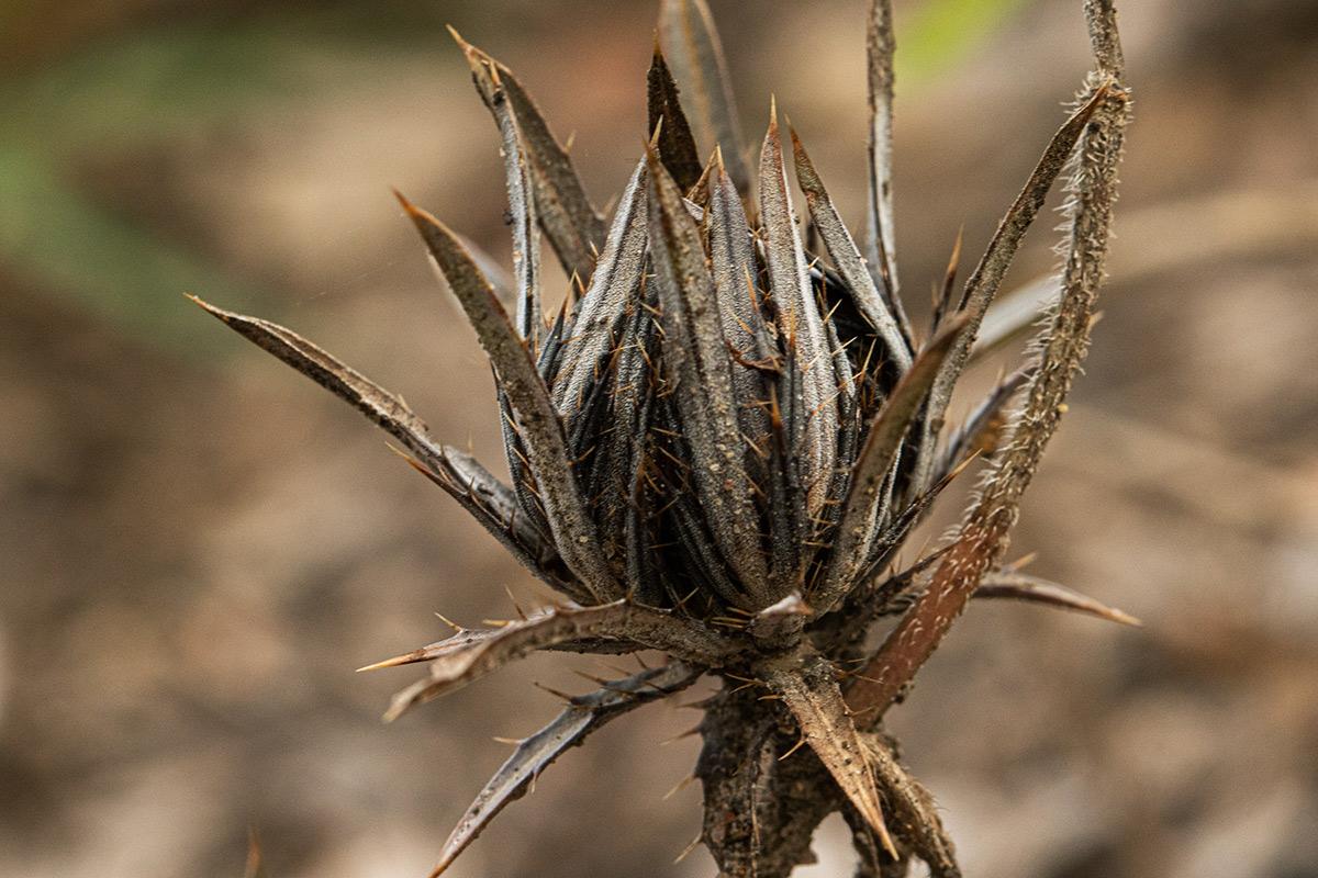 Blepharis leendertziae