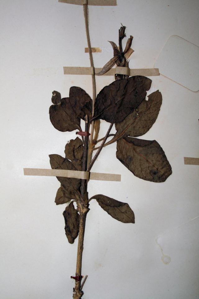 Crossandra mucronata