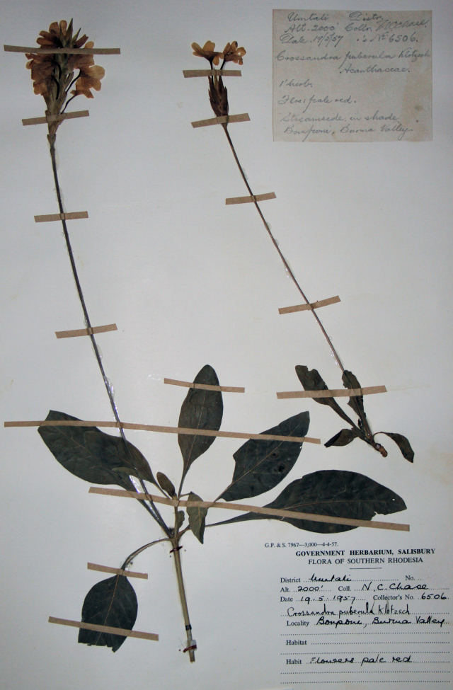 Crossandra puberula