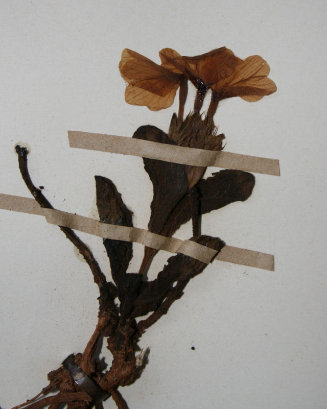 Crossandra pyrophila