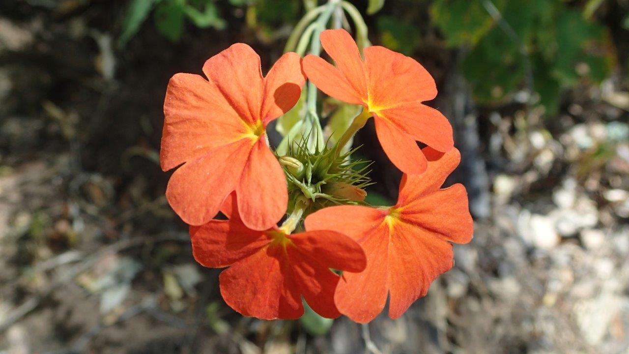 Crossandra spinescens