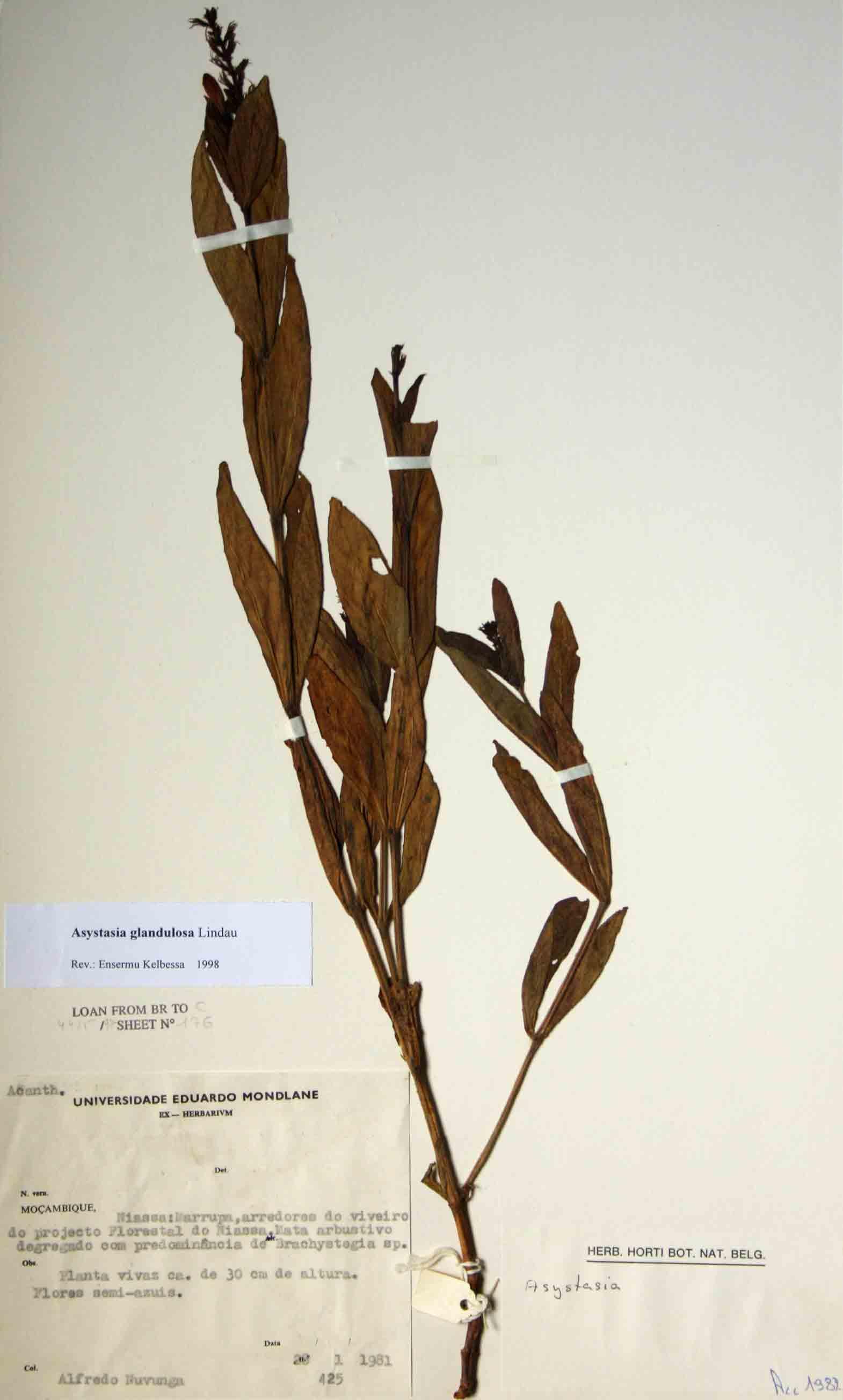 Asystasia glandulosa