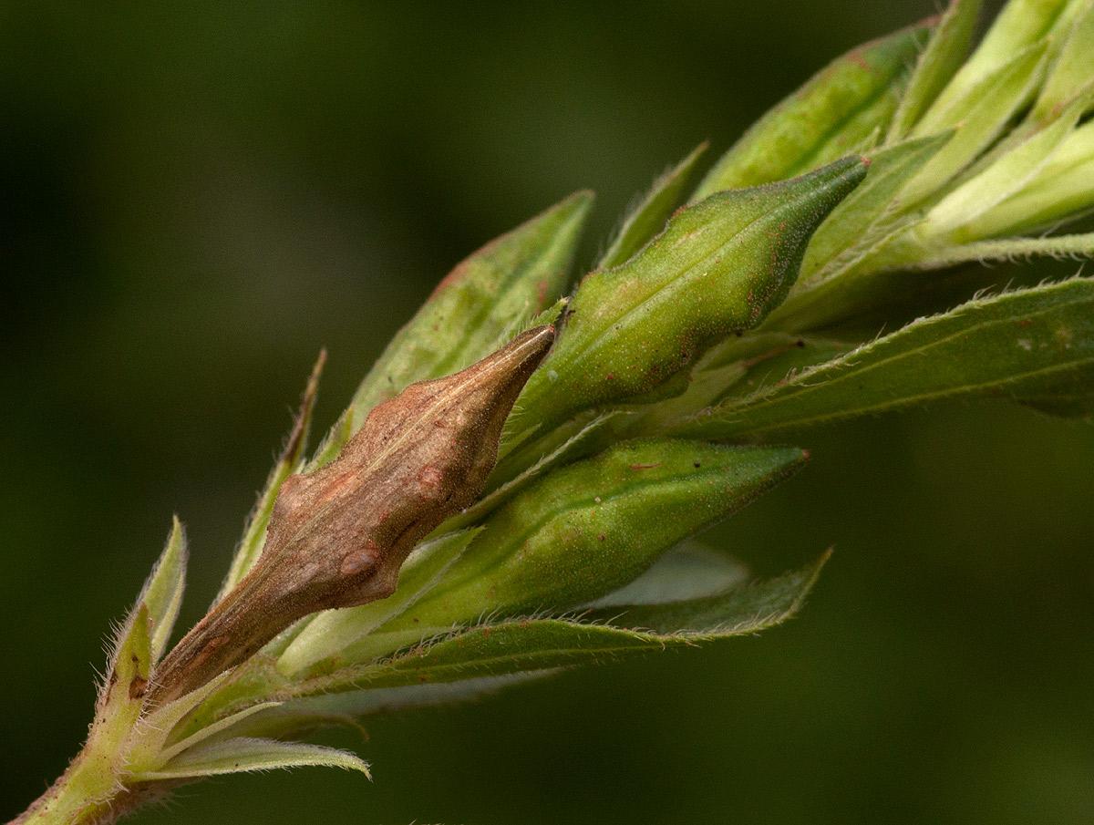 Asystasia mysorensis