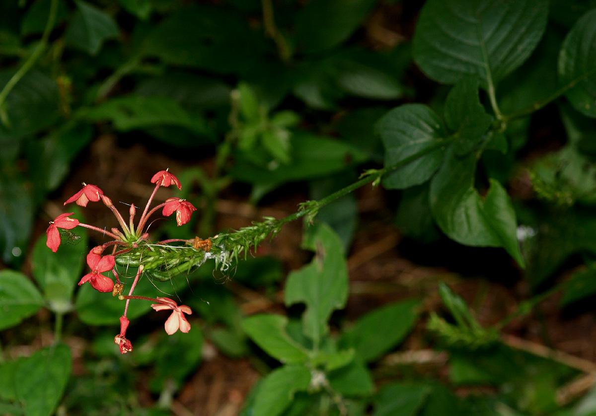 Ruspolia seticalyx