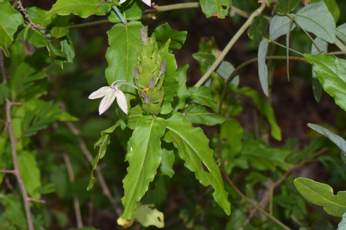 Ecbolium clarkei var. puberulum