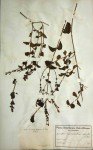 Rhinacanthus zambesiacus