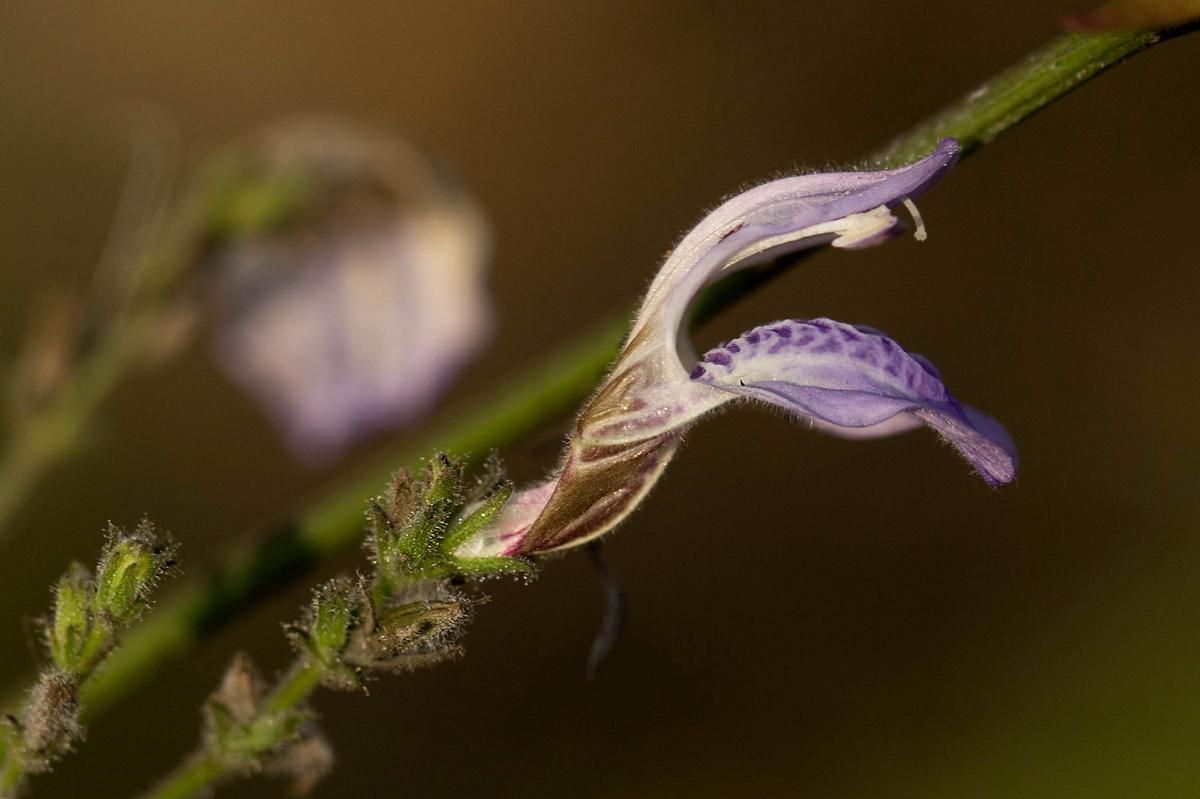 Isoglossa floribunda subsp. floribunda