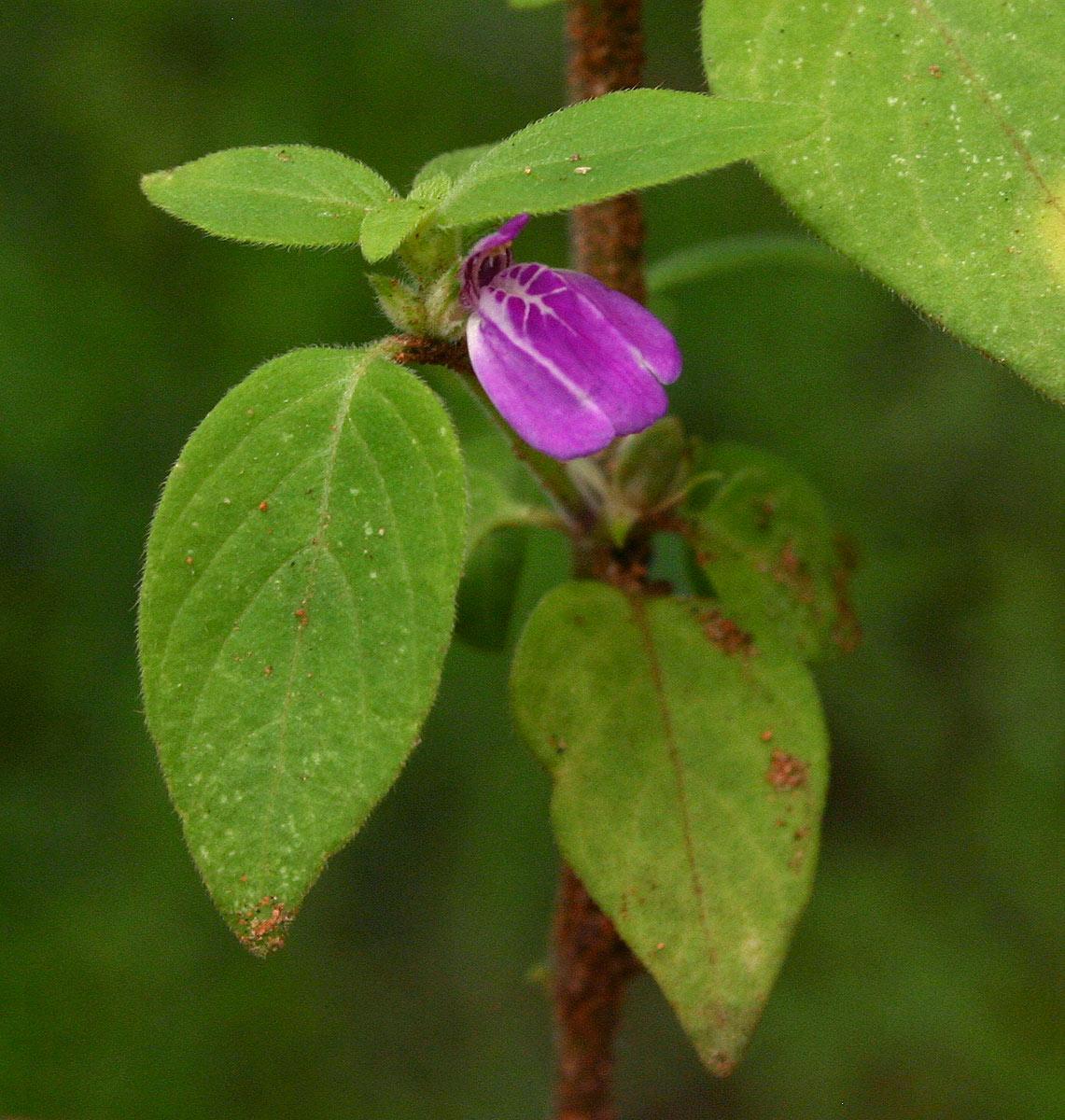 Justicia heterocarpa subsp. dinteri
